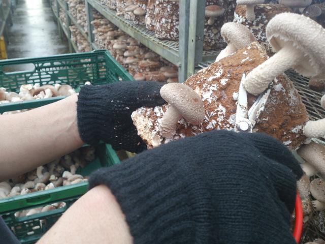 椎茸収穫体験